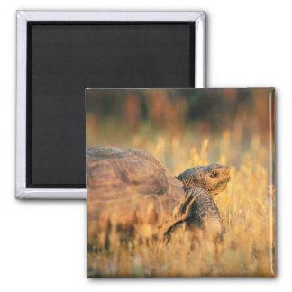 Tortoise in Grass Square Magnet