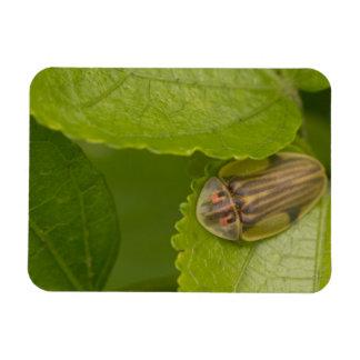 Tortoise shell beetle, cloud forest, Costa Rica Rectangular Photo Magnet