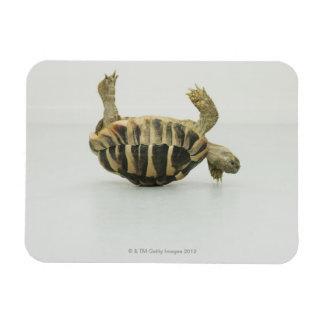 Tortoise upside down, balancing on shell rectangular photo magnet