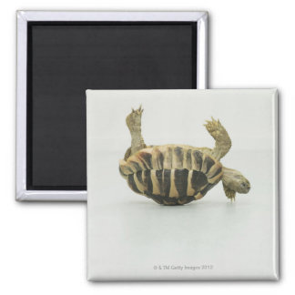 Tortoise upside down, balancing on shell square magnet