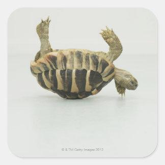 Tortoise upside down balancing on shell square sticker
