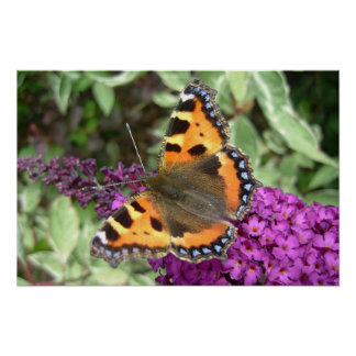 Tortoiseshell butterfly on budliea poster
