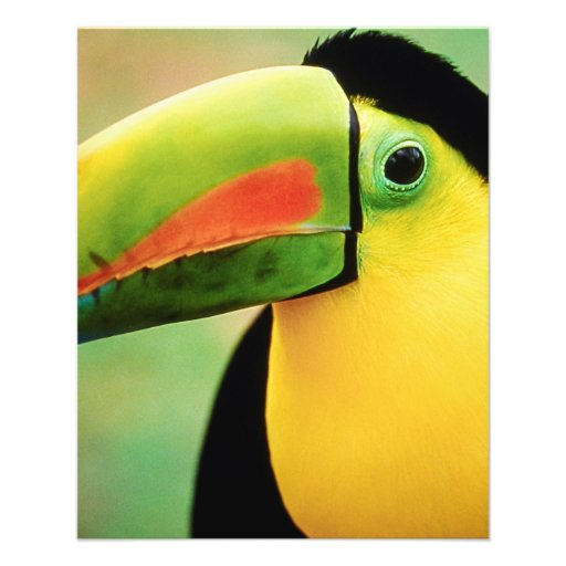 Toucan Bird Wild Nature Colorful Photography Flyers
