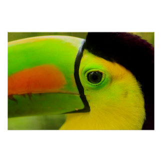 Toucan face close up, Belize Poster