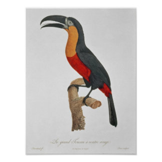 Toucan: Great Red-Bellied by Jacques Barraband Poster