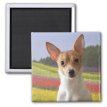 Toy Fox Terrier Magnet