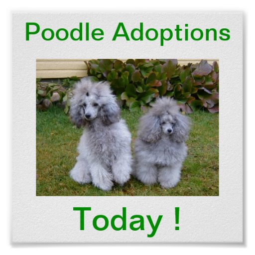 Toy Miniature Poodle Dog Adoptions Today Sign Print