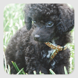 Toy Poodle Puppy Square Stickers