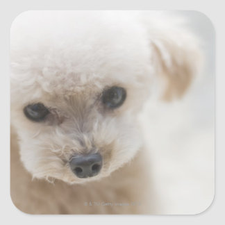toy poodle square stickers