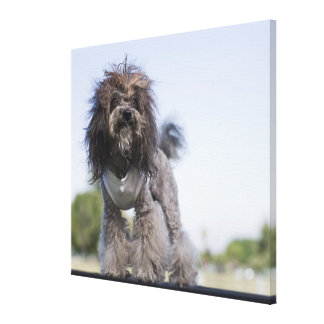 toy poodle wearing t-shirt canvas print