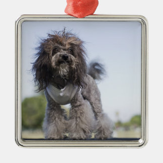 toy poodle wearing t-shirt christmas ornament