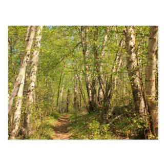 Trail Through Birches Post Card