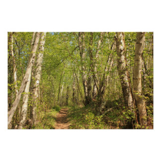 Trail Through Birches Poster