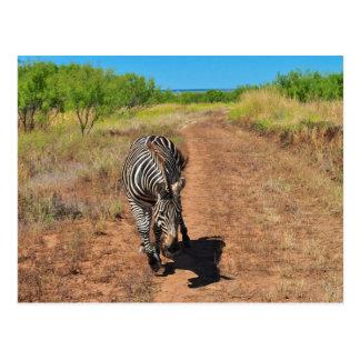 Trailing Zebra Postcard