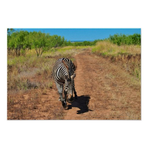 Trailing Zebra Poster