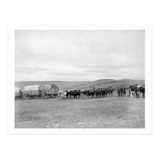 Train of Oxen and Wagons Headed for Black Hills Postcard