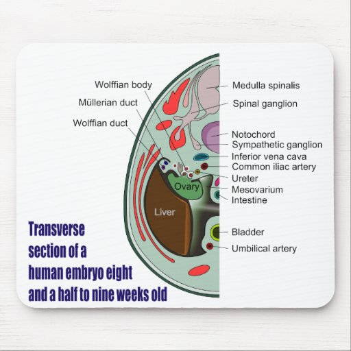 Transverse Section of Human Embryo 9 Weeks Old Mousepads