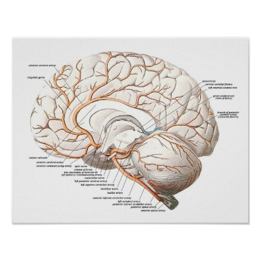 Transverse Section of the Brain Poster