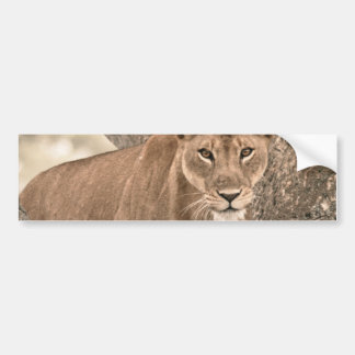 Tree-climbing lion, Uganda Africa Bumper Sticker