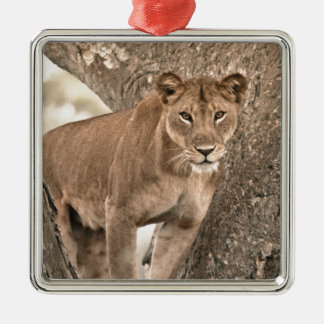 Tree-climbing lion, Uganda Africa Silver-Colored Square Decoration