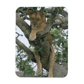 Tree climbing lioness (Panthera leo), Queen Magnet