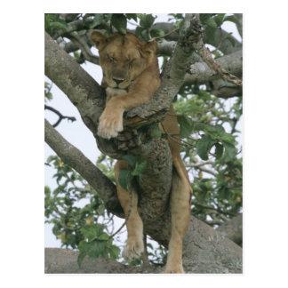 Tree climbing lioness (Panthera leo), Queen Postcard