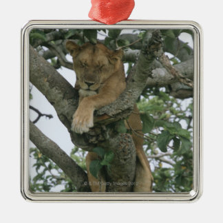 Tree climbing lioness (Panthera leo), Queen Silver-Colored Square Decoration