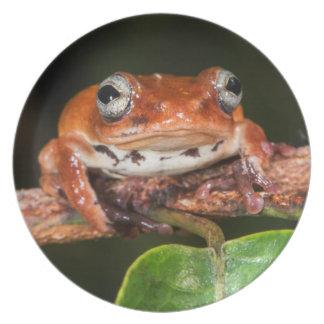 Tree frog, Lango Bai, Congo Plate