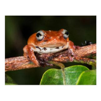 Tree frog, Lango Bai, Congo Postcard