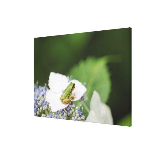 Tree Frog Sitting on a Hydrangea, Hyogo Stretched Canvas Print