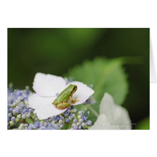 Tree Frog Sitting on a Hydrangea, Hyogo Greeting Cards