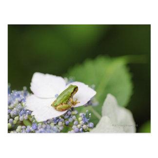 Tree Frog Sitting on a Hydrangea Hyogo Postcard
