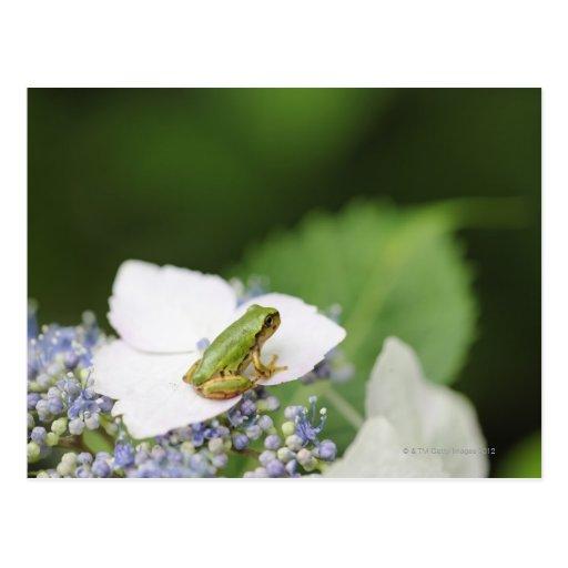 Tree Frog Sitting on a Hydrangea, Hyogo Postcard
