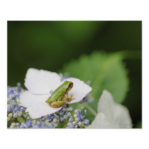 Tree Frog Sitting on a Hydrangea, Hyogo Posters