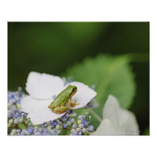 Tree Frog Sitting on a Hydrangea Hyogo Posters