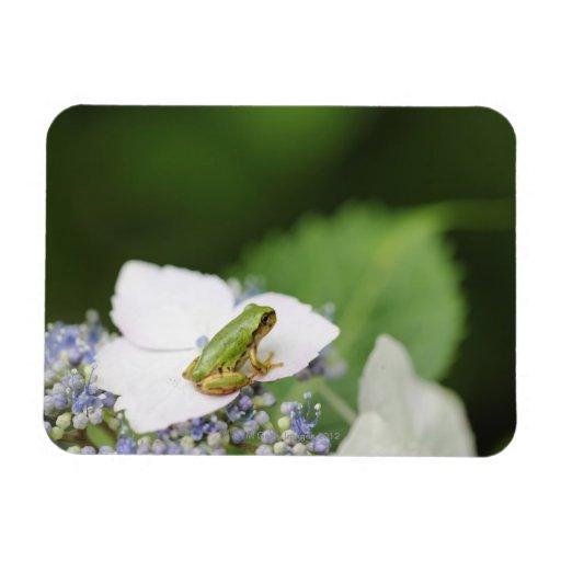 Tree Frog Sitting on a Hydrangea, Hyogo Flexible Magnets