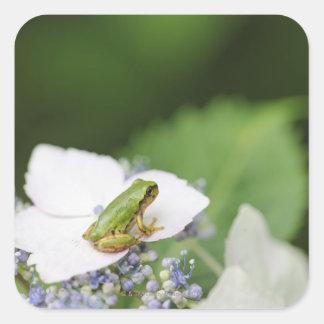 Tree Frog Sitting on a Hydrangea Hyogo Square Sticker