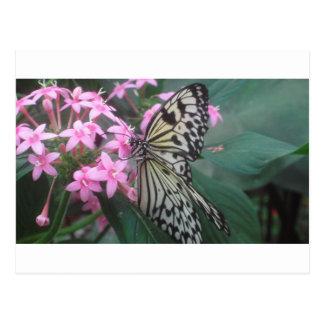 Tree Nymph butterfly Postcard