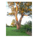Tree Nymph Postcard