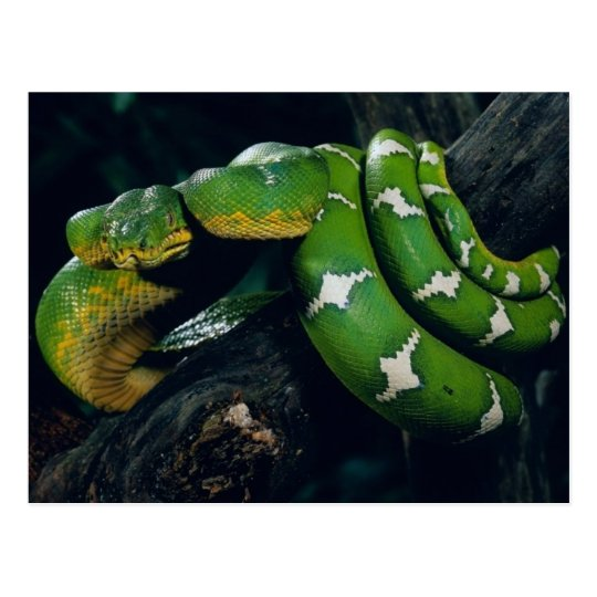 Tree Snake Postcard