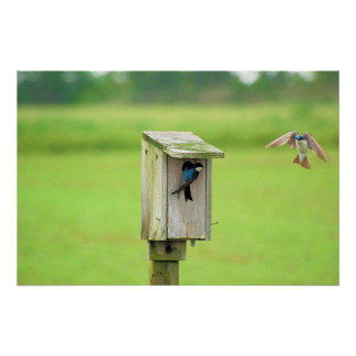 Tree Swallows Posters