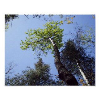 Tree Tops and Blue Sky Poster