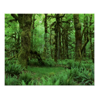 Tree Trunks and Ferns on Forest Floor of Olympic Poster