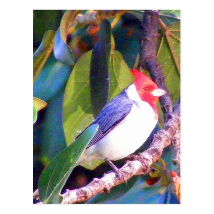 Tree with Brazilian Cardinal Postcard