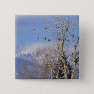 Treeful of bald eagles near Hamilton Montana 15 Cm Square Badge