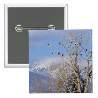 Treeful of bald eagles near Hamilton Montana 15 Cm Square Badge