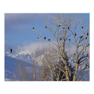 Treeful of bald eagles near Hamilton Montana Poster