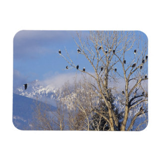 Treeful of bald eagles near Hamilton Montana Rectangular Photo Magnet