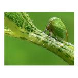 Treehopper Postcard.