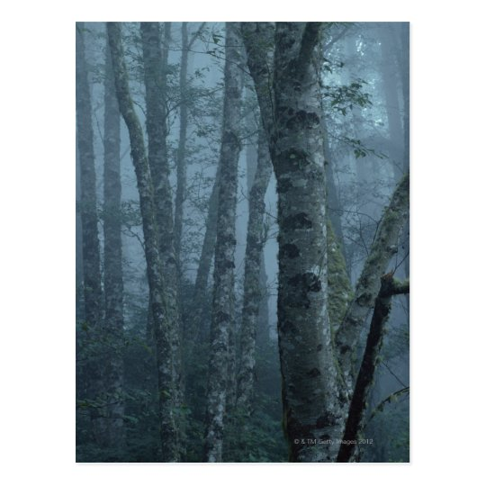 Trees in Forest with Mist Postcard